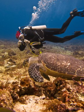 Dr. Murray films a Hawksbill Turtle