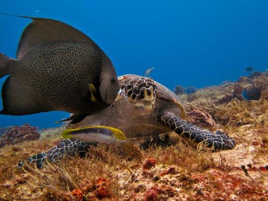 Gray Angelfish and Hawksbill Turtle