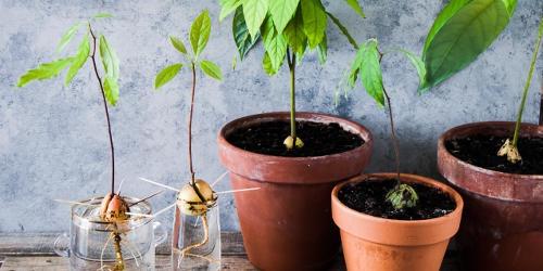 come piantare un avocado