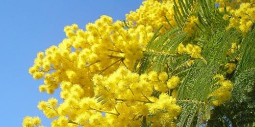 festa delle donne e mimosa