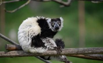 Silver, il lemure donato al Parco Natura Viva di Bussolengo da Gerald Durrell