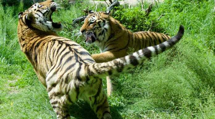 Amka e Luva, tigri siberiane al Parco Natura Viva
