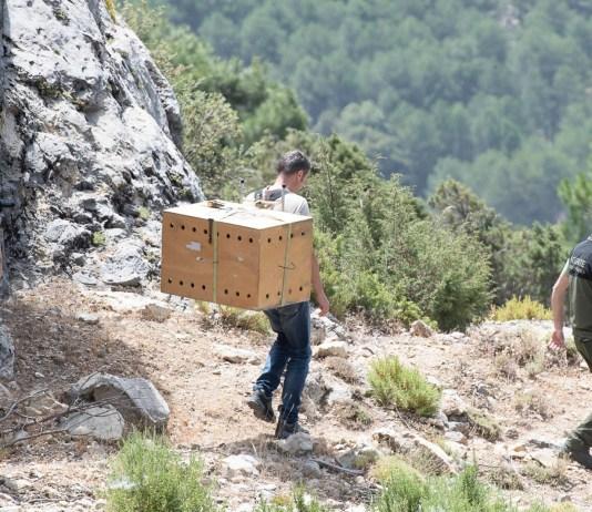 Camillo Sandri porta a spalla Stelvio fino al punto della discesa in corda