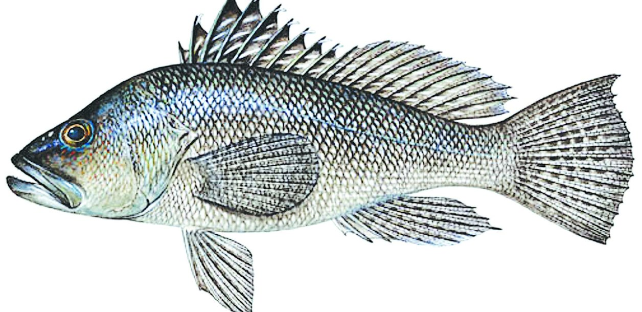 sea bass illustration