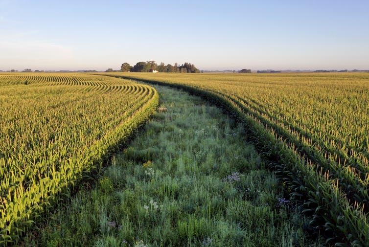 A path mown through a green field