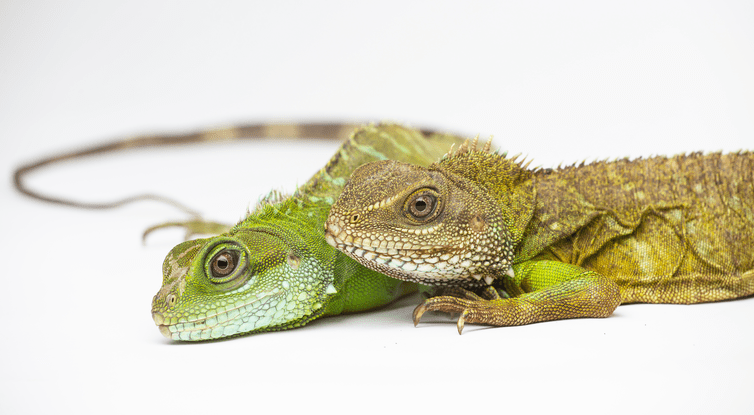 A female Asian water dragon (Physignathus cocincinus) produced a daughter (left) without the assistance of a male. Skip Brown/Smithsonian's National Zoo