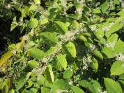Japanese knotweed is invasie. The bees love it, though, and the stalks are tender in the spring and great for pickling.