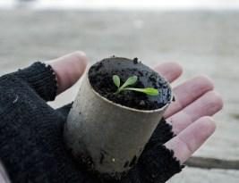 Răsaduri pentru grădină descrise în 7 metode