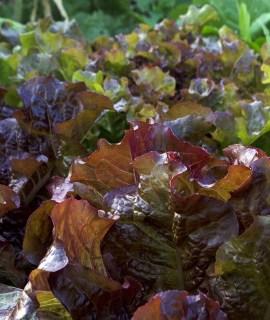 seminte salata rosie