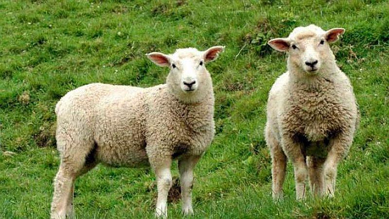 Strzyżenie owiec 2018