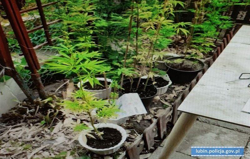 25- latek odpowie za uprawę marihuany