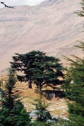 Cedry w okolicy Doliny Kadisza