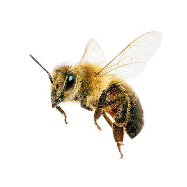 21 początkowych dni z życia pszczoły