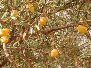 drzewo arganowe
