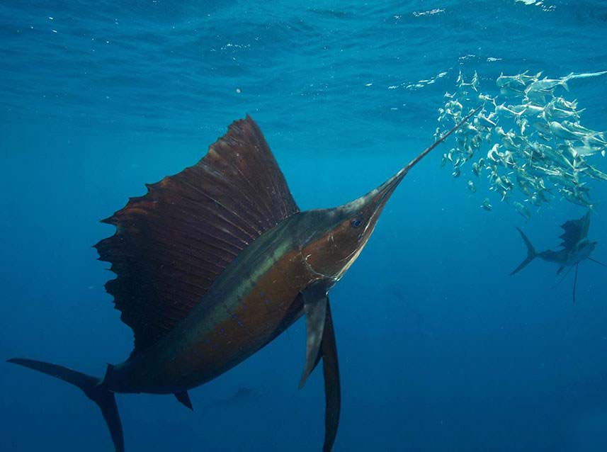 Sailfish eating Bait