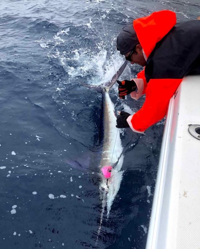 Marlin on Panamania Lure