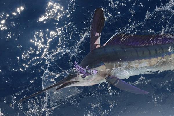 Big Marlin on Currican Vallarta