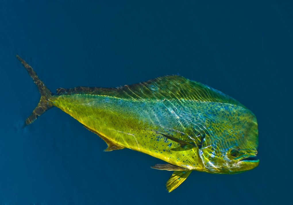 Underwater Mahi Mahi Dorado