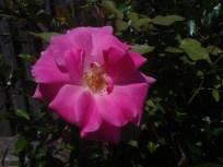 Rosie's Rose