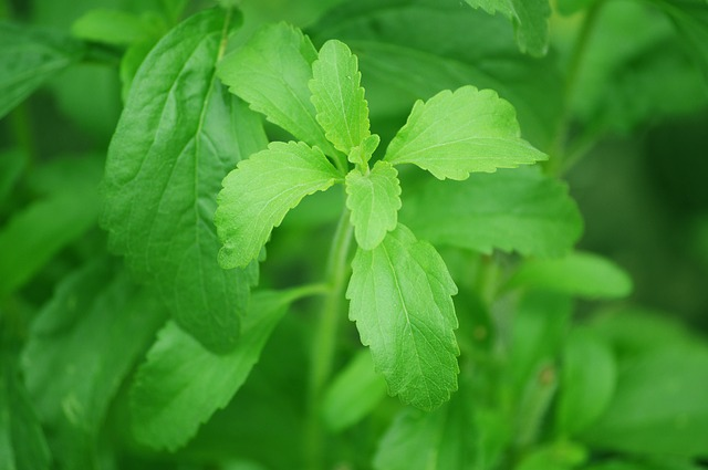 Stevia kann für den Übergang ein hilfreicher Ersatz für Zucker und Süßstoff sein.