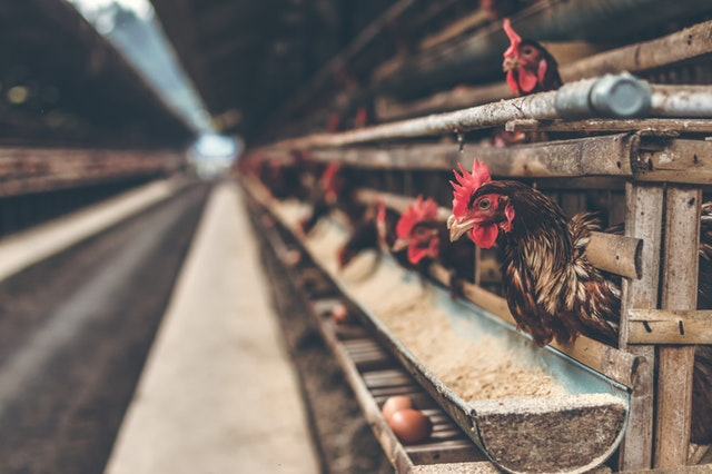 Fleisch aus Massentierhaltung ist keine gesunde Energie- und Proteinquelle.