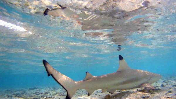 Акулите на Малдивите