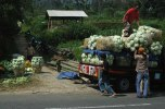 CABBAGE VEGETABLE MERBABU PAKIS MAGELANG CENTRAL JAVA INDONESIA