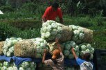 CABBAGE VEGETABLE MERBABU PAKIS MAGELANG PHOTO INDONESIA