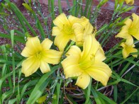 Yellow daylily that reblooms better the second time around