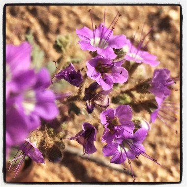 notched-leaf phacelia