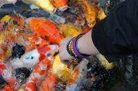 SHANGHAI- feeding the coy fish