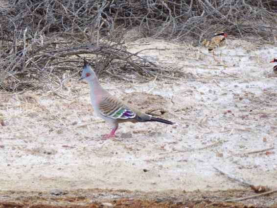 Crested Pigeon, Coward Springs wetland.