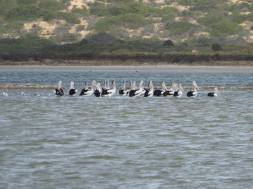 Bit cold today, everyone into huddling - Australian Pelican.
