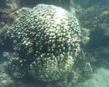 Partially bleached coral, Alma Bay 2017