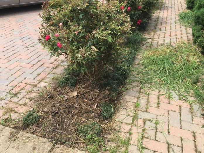 Weeded rose bush