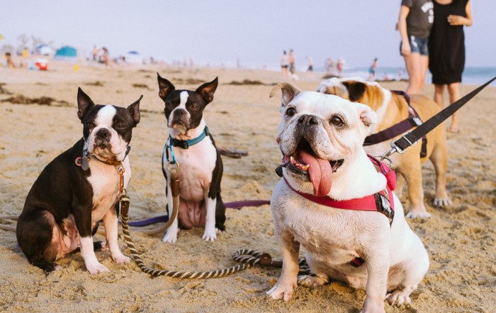 Bulldog meet up at Huntington Dog Beach