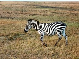 Zebra with the vast grasslands