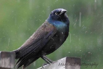 Grackle in the rain
