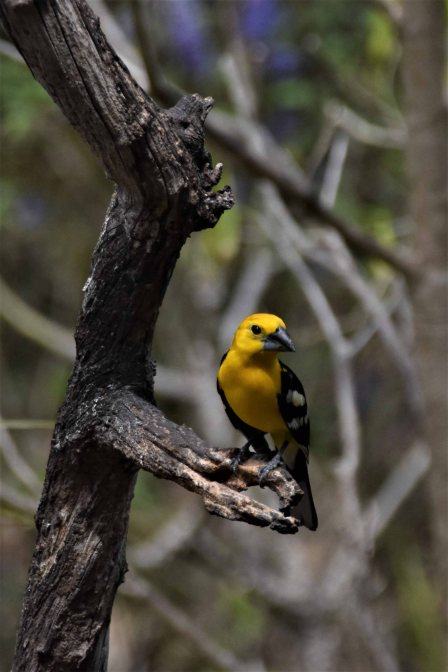 Yellow Grosbeak