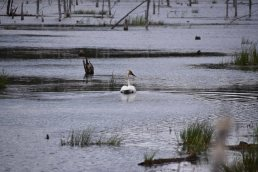 Trumpeter Swans4