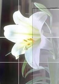 P411 lily