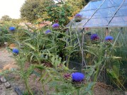artichokes on their way out