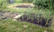 nearby garlic