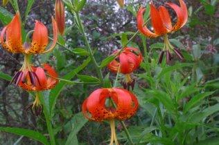 Maggi Rhudy Turks cap lillies