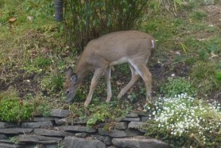 Maggi Rhudy Deer in front of kitchen