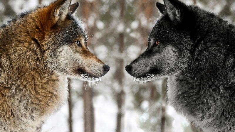 A fehér és a fekete farkas