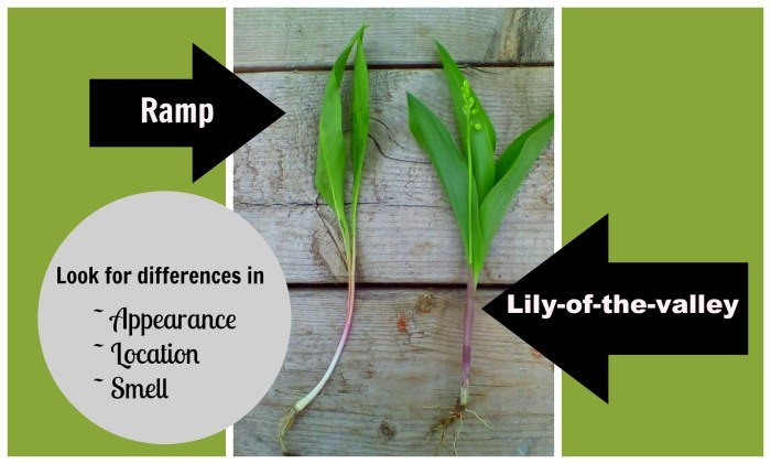 How to tell the difference between ramps and lily-of-the-valley ...
