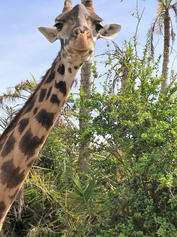 Why, hello there! Kilimanjaro Safari, Disney's Animal Kingdom