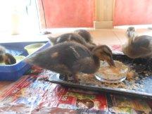 mallard ducklings eating