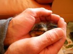 duckling day old